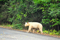 Kermode Bear Walking