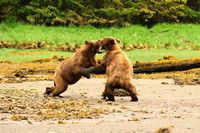 Grizzly Bears Wrestling 5