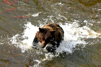 Grizzly Bear Chasing Salmon 2
