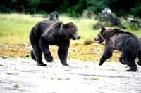Grizzly Bears Wrestling