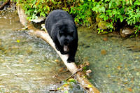 Black Bear Crossing Log In Water