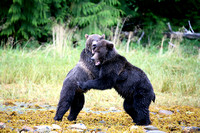 Grizzly Bears Wrestling 3