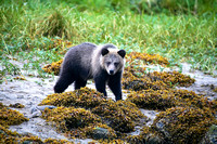 Grizzly Bear Cub In Water
