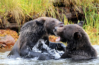 Grizzly Bears Fighting 2