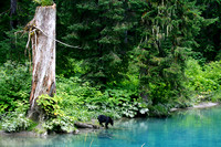 Black Bear By River