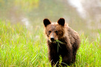 Curious Grizzly Bear Cub Eating Grass