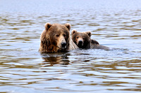 Grizzly Bear Sow and Cub Swimming