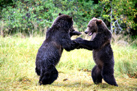 Grizzly Bears Wrestling 2