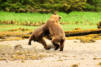 Grizzly Bears Wrestling 6