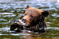 Grizzly Bear Gnawing On A Salmon Head