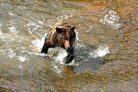 Grizzly Bear Chasing Salmon 1