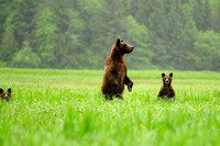 Grizzly Bear Sow and Cubs In Grass