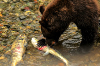 Grizzly Bears Eating Chum Salmon 3