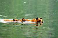 Grizzly Bear Sow and Cubs Swimming
