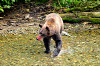 Grizzly Bear With Salmon Blood Smear on Snout