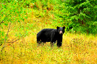 Black Bear In Fall Colors